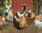 Hen Pecked - 1000pc Jigsaw Puzzle by White Mountain