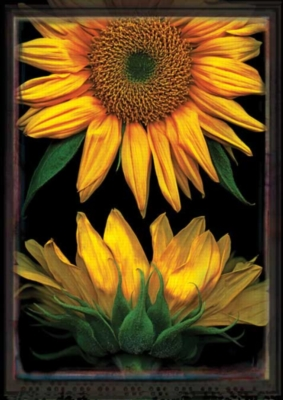 Sunflowers on Black - Standard Flag by Toland
