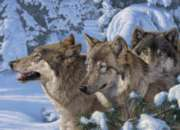 Wolves of Winter - 1000pc Jigsaw Puzzle by Cobble Hill
