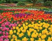 Spring Puzzles - Tulip Garden