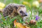 Hedgehog - 260pc Jigsaw Puzzle by Castorland