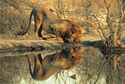 Male Lion - 1000pc Jigsaw Puzzle by Tomax