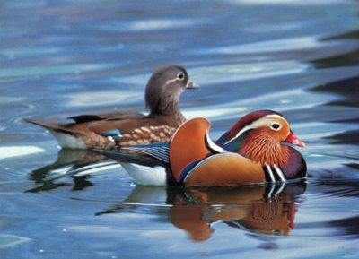 Mandarin Duck - 500pc Jigsaw Puzzle by Tomax