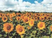Tomax Jigsaw Puzzles - Sunflowers