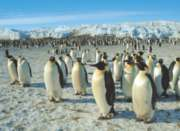 Emperor Penguins - 500pc Jigsaw Puzzle by Tomax