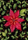 Poinsettia - Garden Flag by Toland