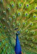 Peacock - 1000pc By Castorland