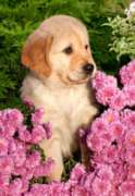 Jigsaw Puzzles - Little Retriever