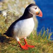 Atlantic Puffin - 500pc Jigsaw Puzzle by Buffalo Games
