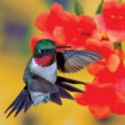 Hummingbird III - 500pc Jigsaw Puzzle by Buffalo Games