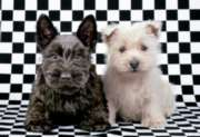 Educa Jigsaw Puzzles - Checked Terriers