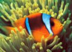 Clownfish - 500pc Glow in the Dark Jigsaw Puzzle By Tomax