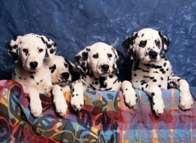Dalmatians - 500pc Jigsaw Puzzle By Tomax