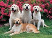 Golden Retrievers - 500pc Jigsaw Puzzle By Tomax
