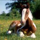 Cute Foal - 100 pc Jigsaw Puzzle by D-Toys