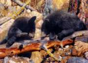 Masterpieces Black Bear Jigsaw Puzzle