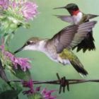Audubon: Ruby-throated Hummingbird - 500pc Jigsaw Puzzle by Buffalo Games
