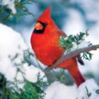 Winter Cardinal - 500pc Jigsaw Puzzle by Buffalo Games