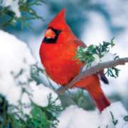 Jigsaw Puzzles - Winter Cardinal