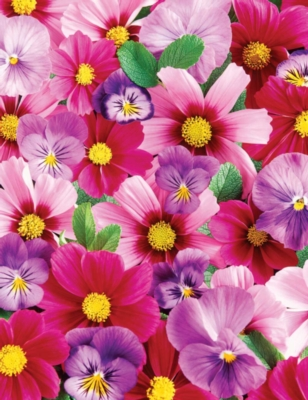 Pink 'N Purple Posies- 350pc Large Format Jigsaw Puzzle by Springbok