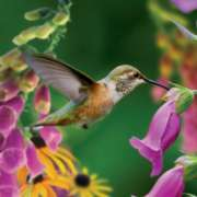 Jigsaw Puzzles - Hummingbird II