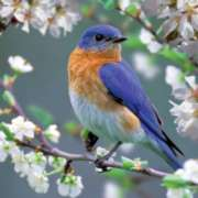 Bluebird Blossoms - 500pc Jigsaw Puzzle by Buffalo Games