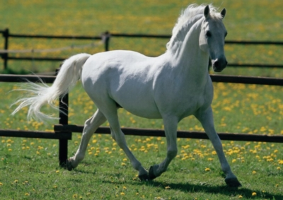 White Horse - 500pc Jigsaw Puzzle by Educa