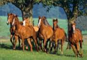 Quarter Horses - 1500pc Jigsaw Puzzle by Castorland