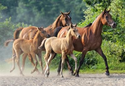 Jigsaw Puzzles - Purebred Arabians