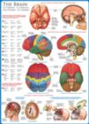 The Brain - 1000pc Jigsaw Puzzle by Eurographics
