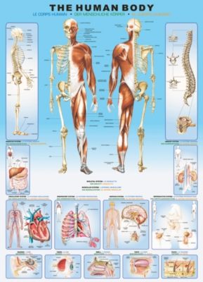 Human Body - 1000pc Jigsaw Puzzle by Eurographics