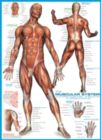 Muscular System - 1000pc Educational Jigsaw Puzzle by Eurographics